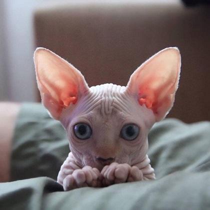 3d7154da6d2ac0d6ddc79b5b081f29c1--sphinx-cat-hairless-cats